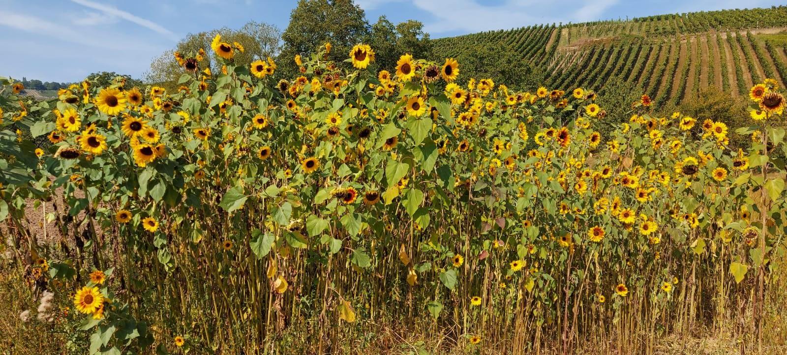 Die Sonnenblumen sind reif